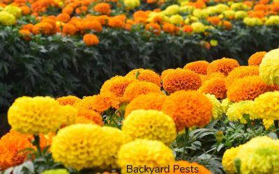 Do Marigolds Prevent Garden Pests?