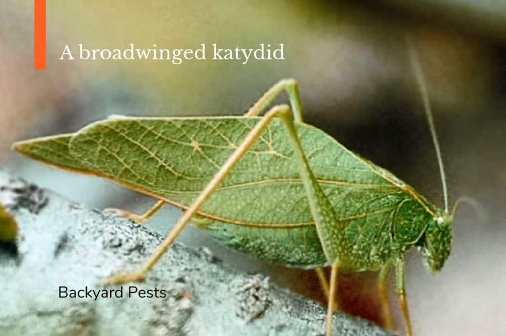 Photo of a broadwinged katydid