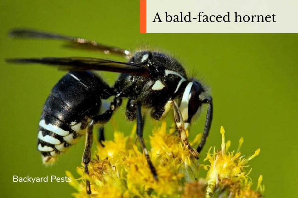 Photo of a bald-faced hornet eating nectar from a flower