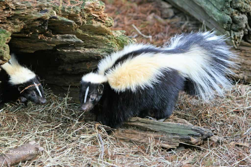 Photo of skunks in a forest