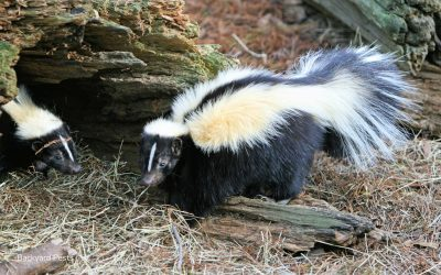 Can Skunks Climb Fences? How Skunks Get Into Fenced-Off Areas
