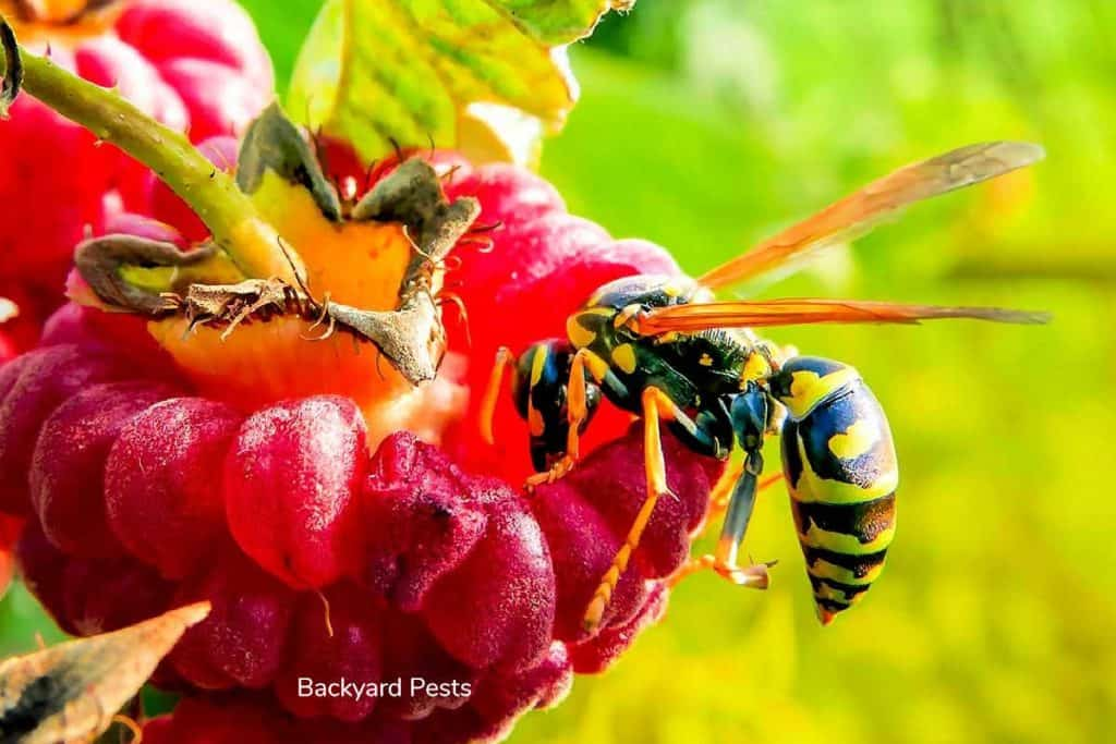 Photo of a wasp eating a piece of fruit