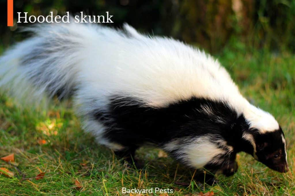 Photo of a hooded skunk