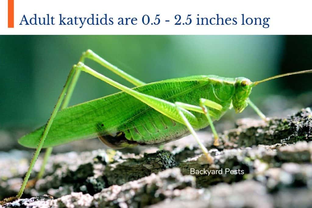 Photo of a long mature katydid