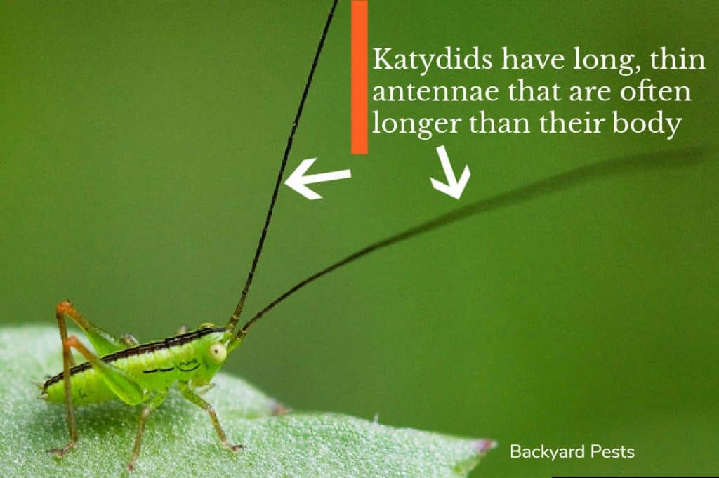 Photo of katydid pointing to the insect's long antenna