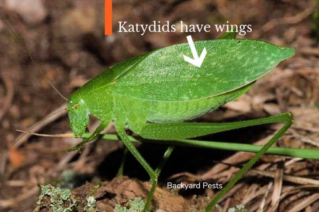 Photo of a katydid with an arrow pointing to its wings