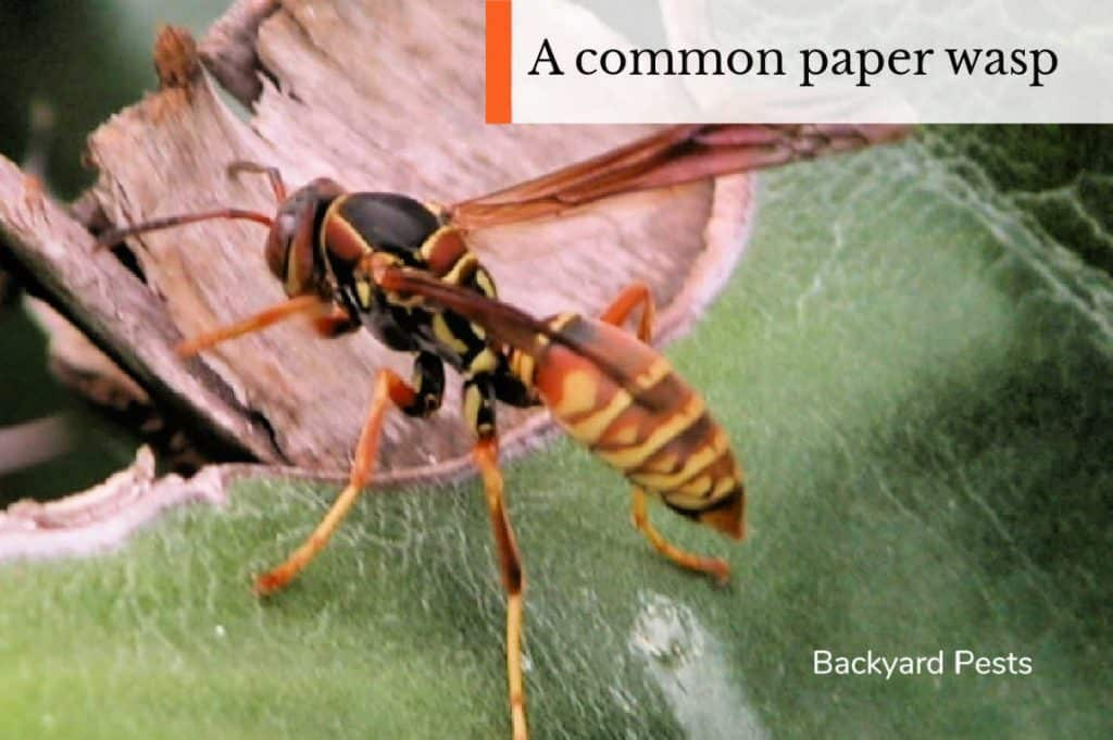 Photo of a common paper wasp on a leaf