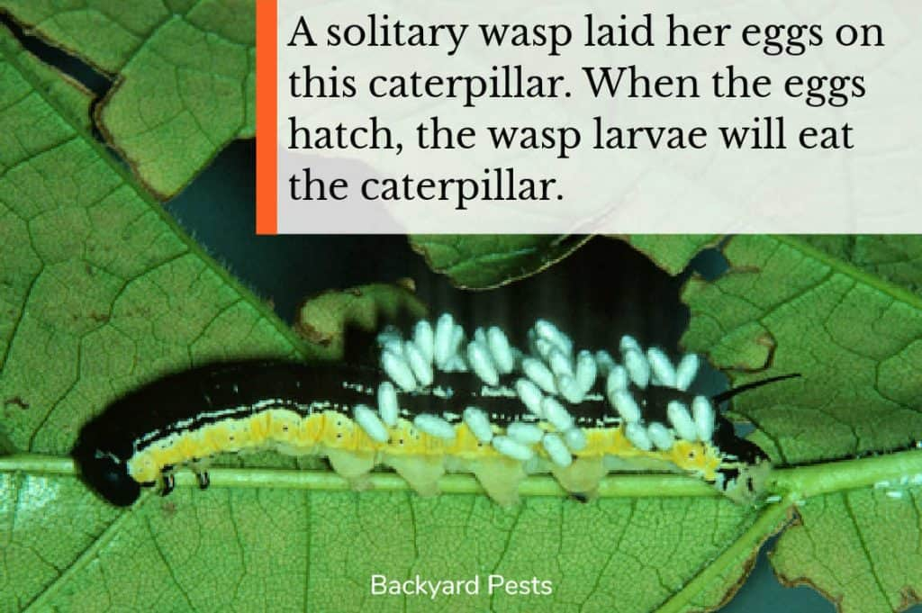 Photo of wasp eggs that have been laid on a caterpillar