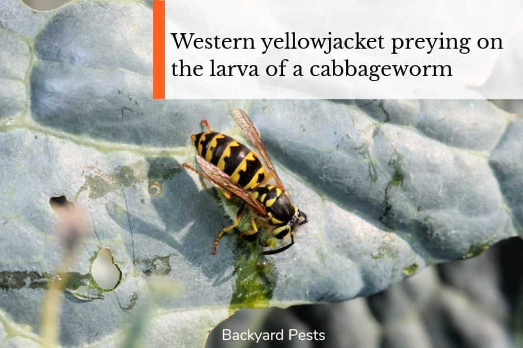 Photo of a yellowjacket wasp preying on the larva or a cabbageworm