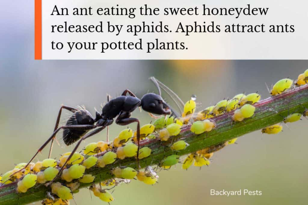 Photo of ant eating honeydew from aphids