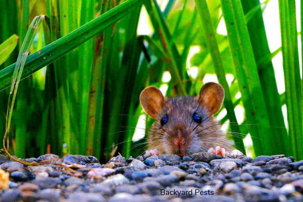 Photo of a mouse hiding by some leaves