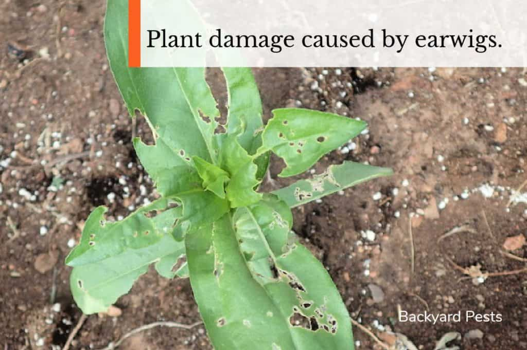 Photo of a leafy plant showing what damage caused by an earwig looks like