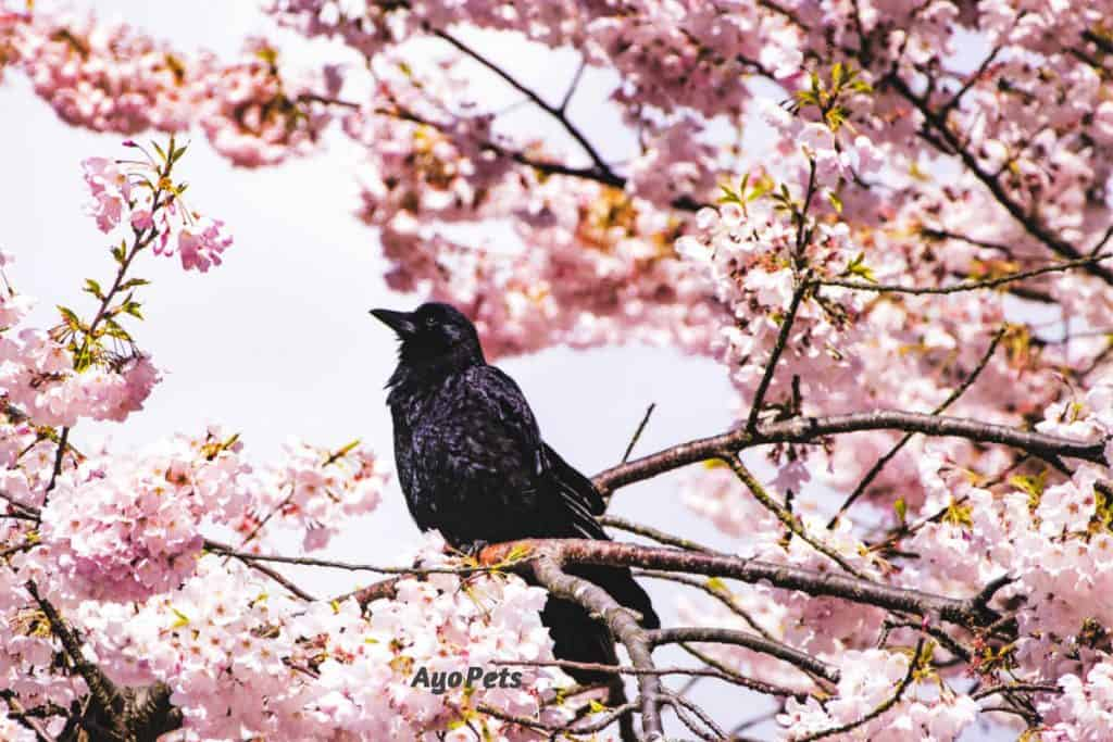 Photo of crow in cherry blossom tree