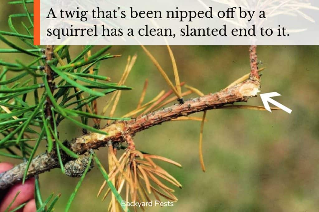 Photo of a twig that's been nipped off by a squirrle and showing the clean cut