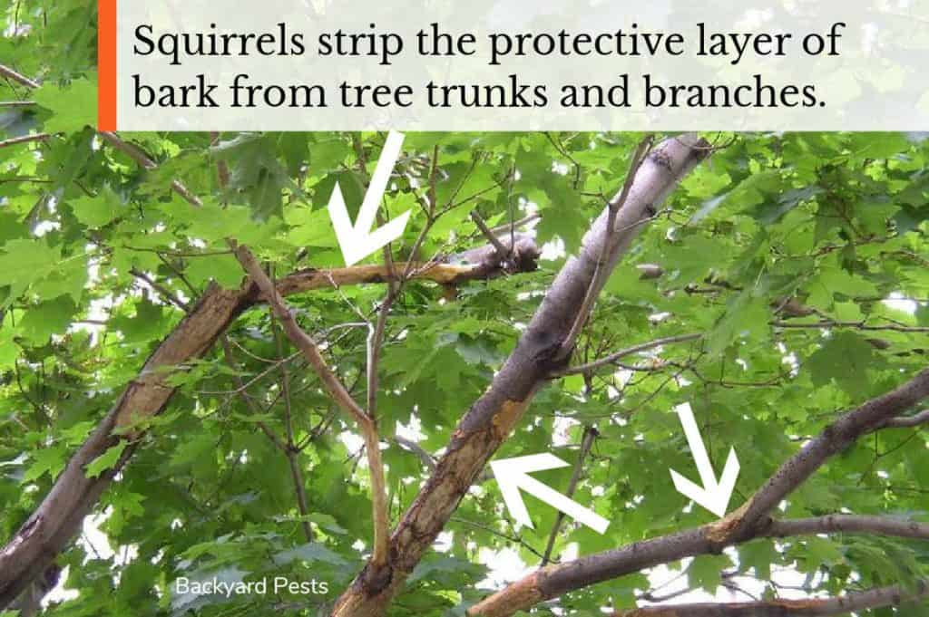 Photo of a tree's branches that have had their bark stripped by squirrels