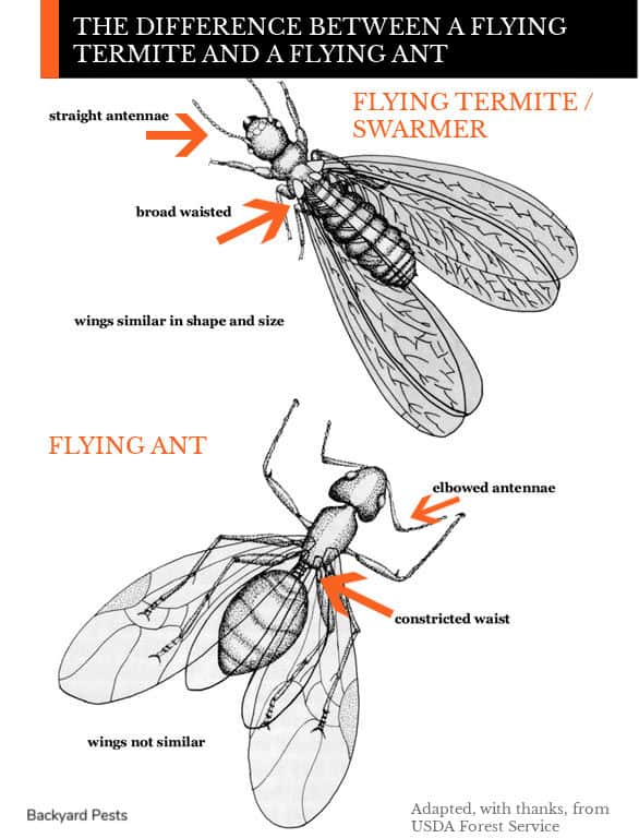Illustration showing differences between flying termites and flying ants