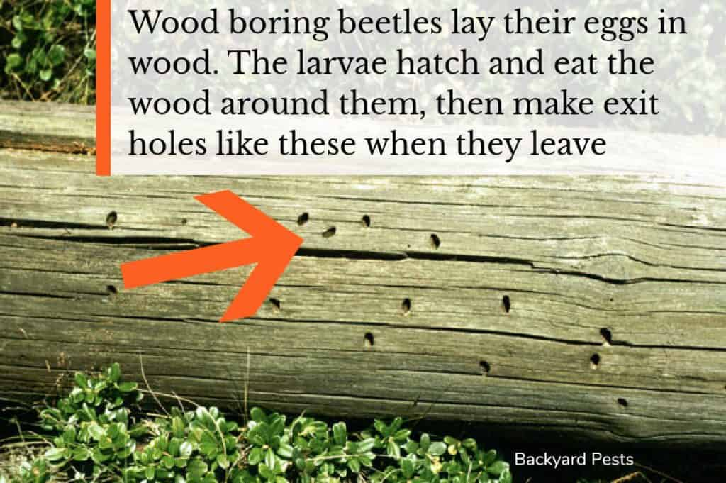 Photo showing exit holes made by wood boring beetle