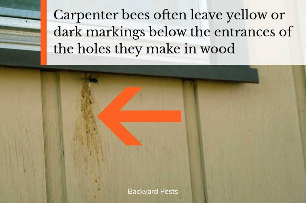 Photo showing markings left by carpenter bee below the entrance hole