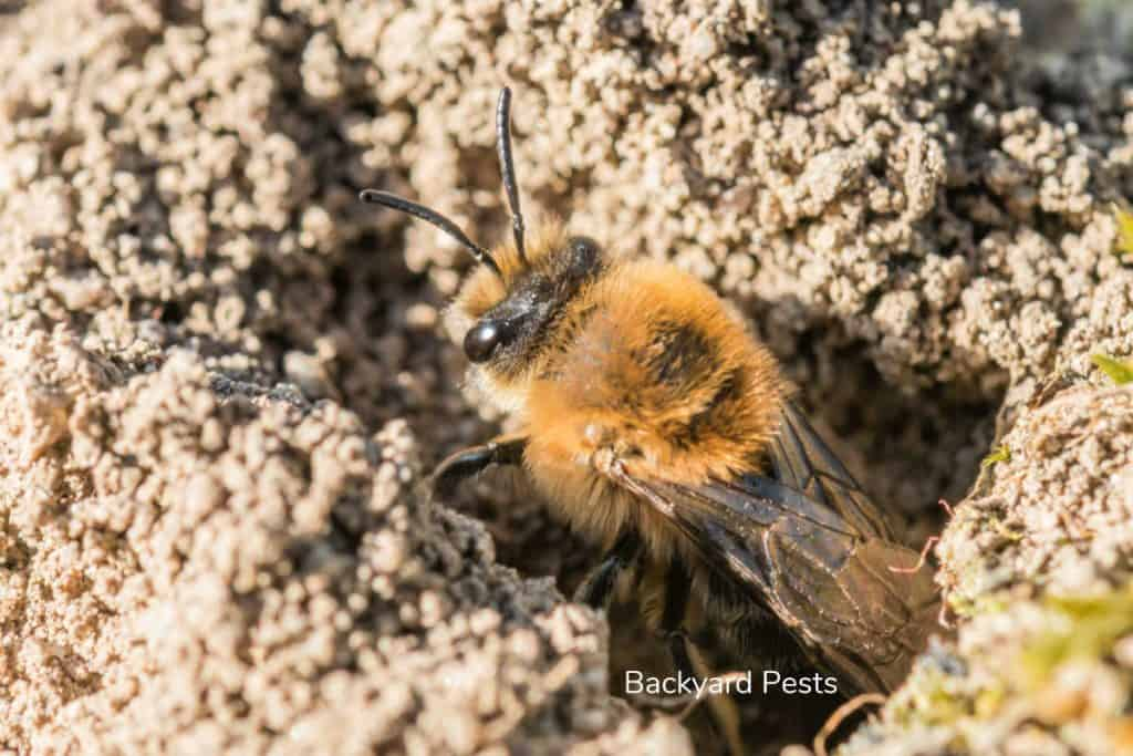 Photo of single female mining bee hole in her on the ground