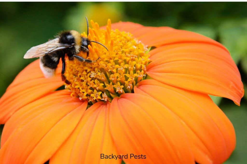 Closeup photo of a bumble bee on a flower