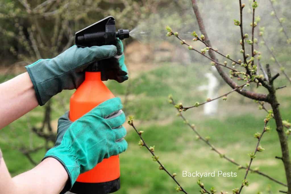 Gardener spraying white oil on plants