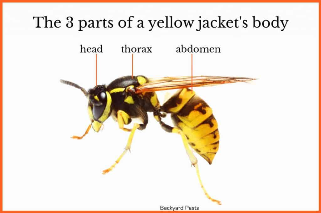 A closeup of a yellow jacket wasp with labels on the three parts of its body