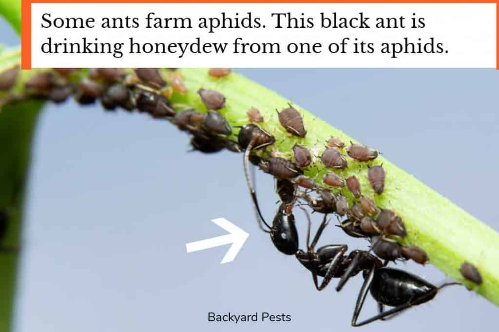 Black ant drinking honeydew from an aphid
