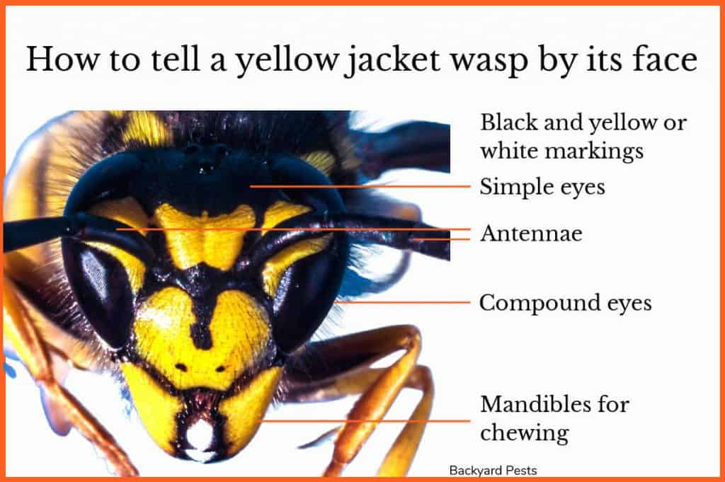 Closeup of a yellow jacket's face showing the yellow and black markings and mandibles