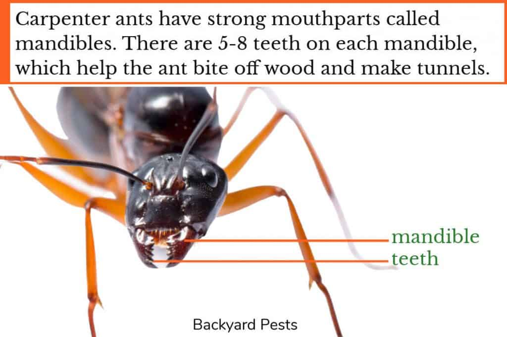 Closeup photo mandibles and teeth on carpenter ant's mouth