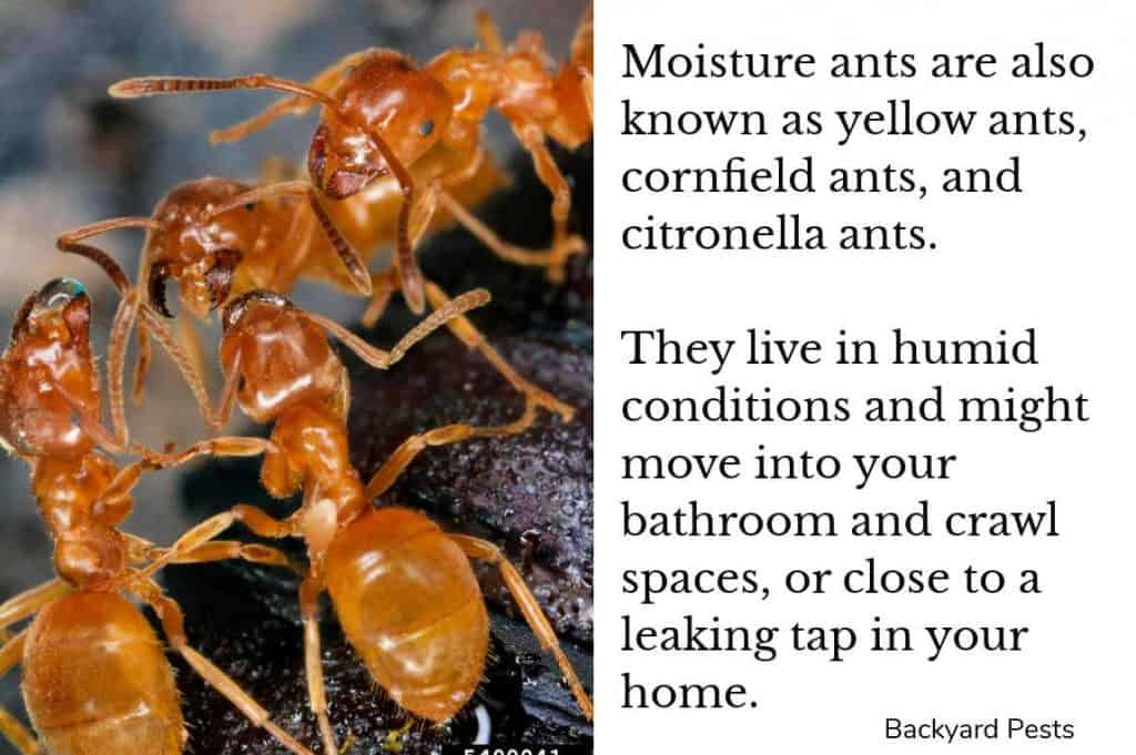 Closeup photo moisture ants who move into bathrooms and crawl spaces