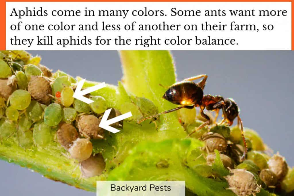 Closeup photo showing an ant aphid farm and different colored aphids