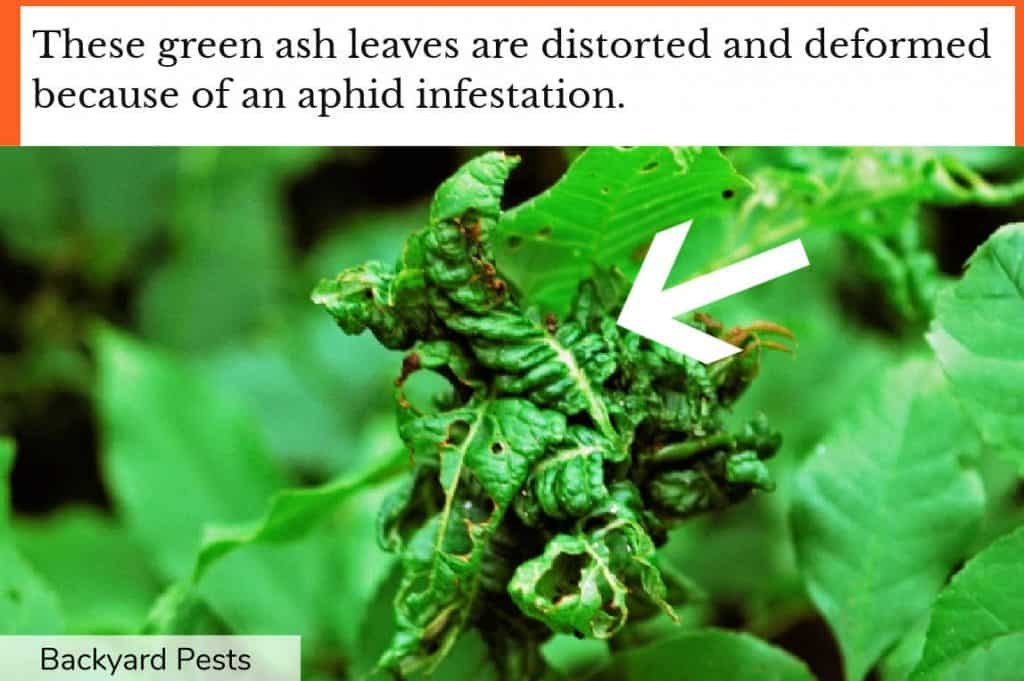 Closeup photo showing deformed green ash leaves from an aphid infestation