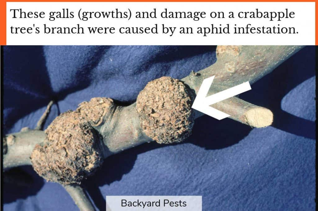 Closeup photo showing galls and damage to a crabapple tree branch from aphid infestation