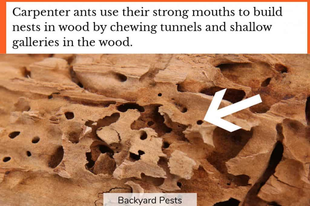 Closeup photo showing the tunnels and galleries that carpenter ants chewed into a piece of wood