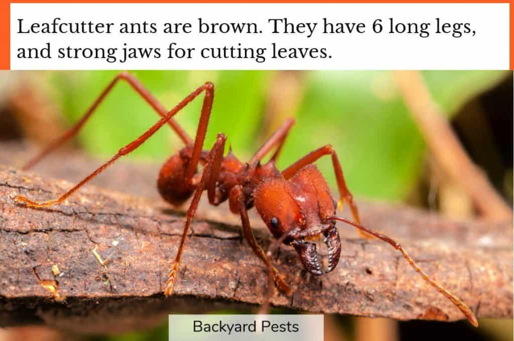 Closeup photo showing what a leafcutter ant looks like