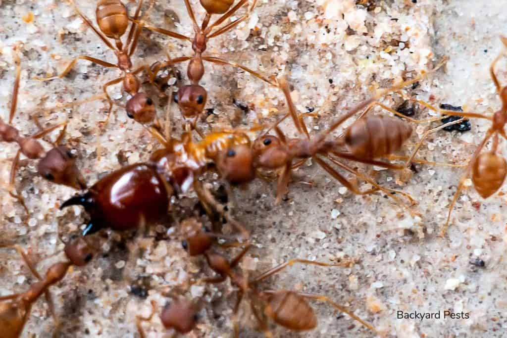 Picture of weaver ants taking a termite back to their nest for food