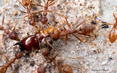 Termite-Eating Ants: Will Ants Really Kill A Termite Colony For You?