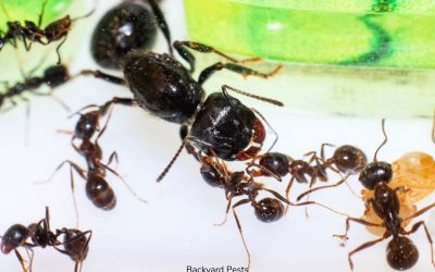 Why Ants Have Queens And How Many Are In A Nest (More Than You Think!)