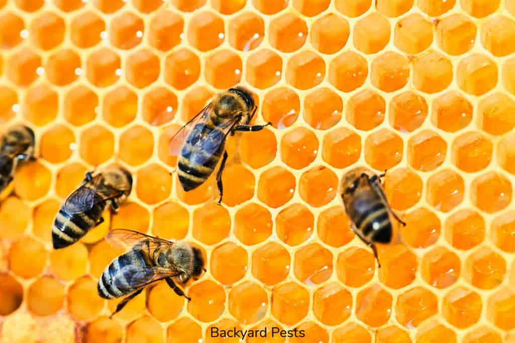 Picture of honey bees on a honey comb with honey