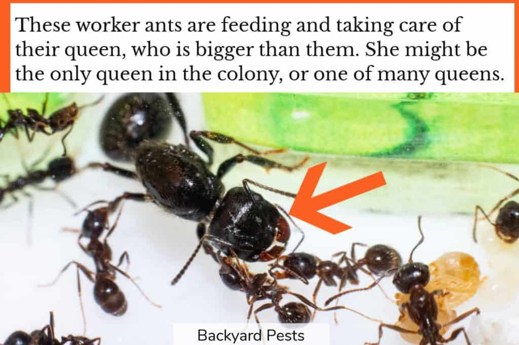 Every ant colony has at least one queen that the workers take care of
