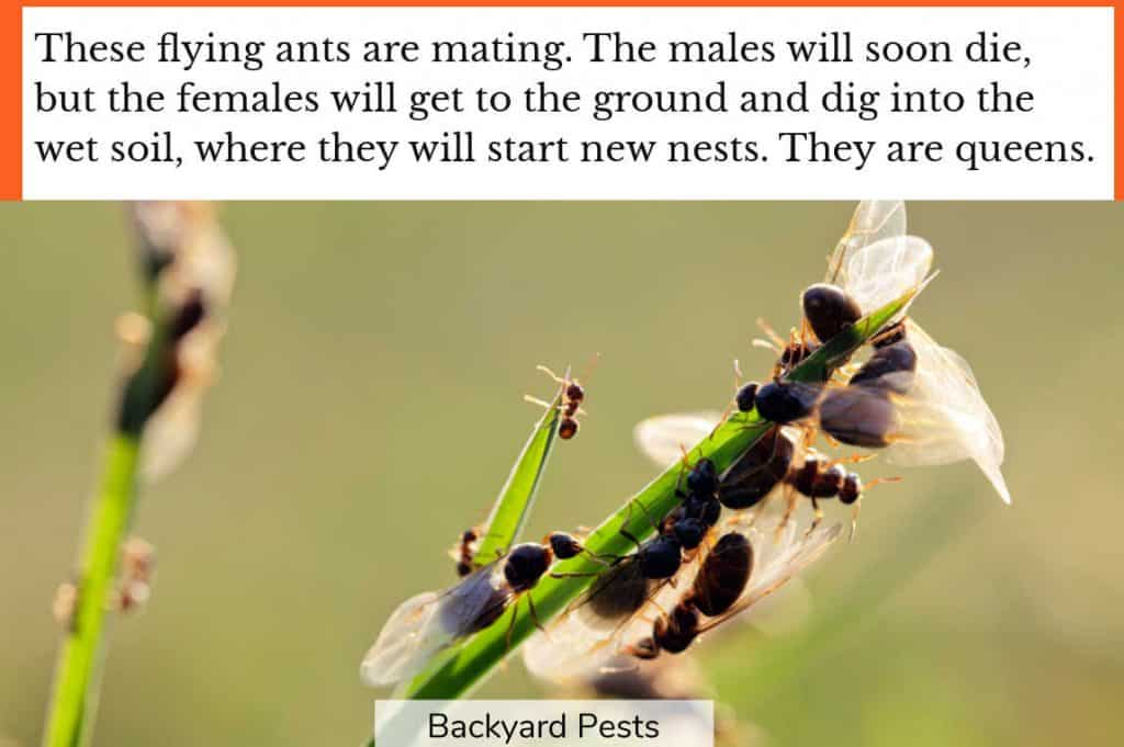 Flying ant females mating with male flying ants before starting new nests as queens
