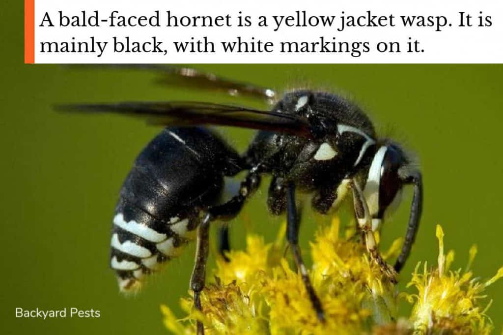 Photo of a bald-faced hornet showing the black and white markings on the body