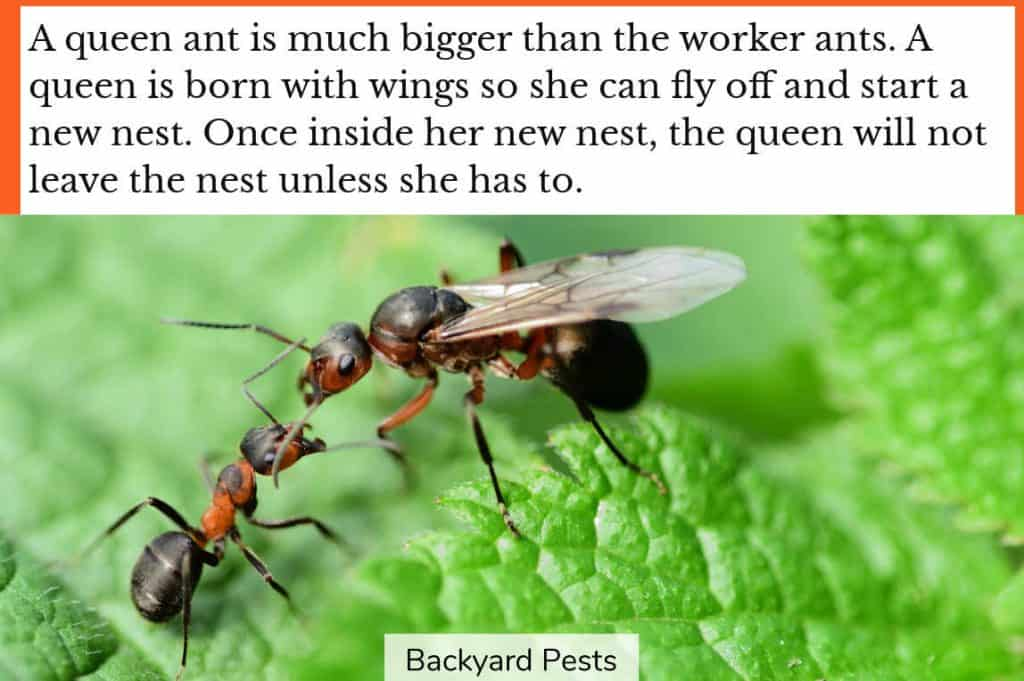 Photo of a queen ant with wings standing opposite a much smaller worker ant