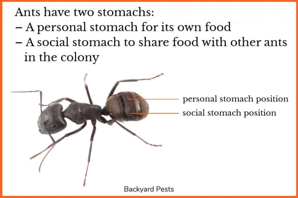 Photo of black ant with labels to both its stomachs
