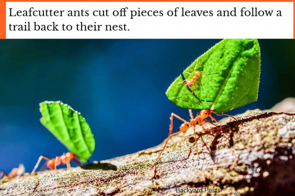 Photo of leafcutter ants following a foraging trail back to their nest