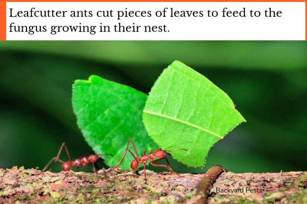 Photo of leafcutter ants taking leaf pieces home to feed to the fungus