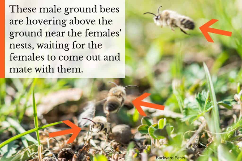 Photo showing male ground bees hovering above the ground waiting for females