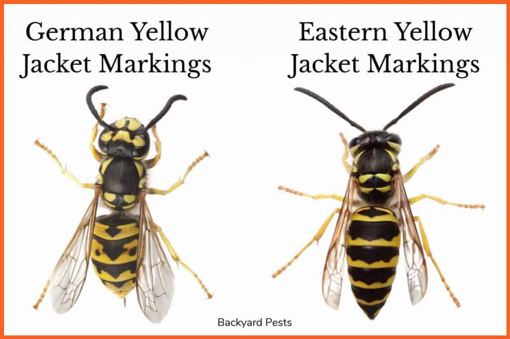 Picture showing a German yellow jacket next to an eastern yellow jacket wasp for comparison
