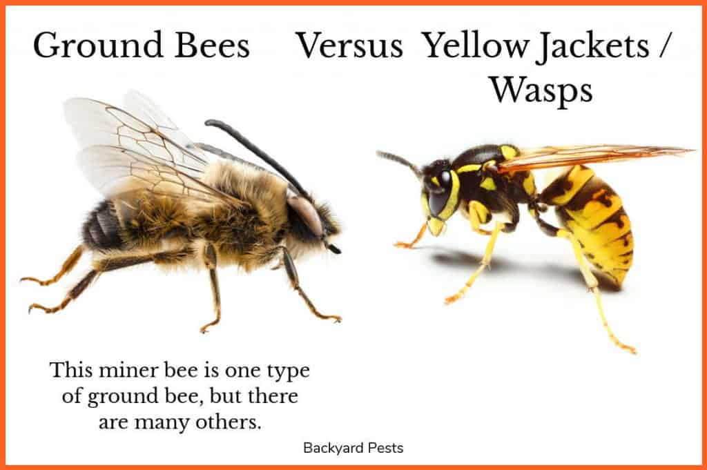 Picture showing a miner ground bee next to a yellow jacket wasp for comparison