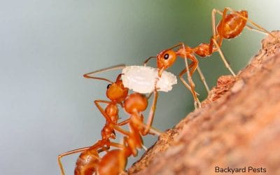 What Ants Really Do With Food – A Tale of Honeypots And Regurgitation